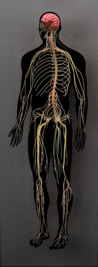 chiropractor, richmond hill, nervous system, nerves